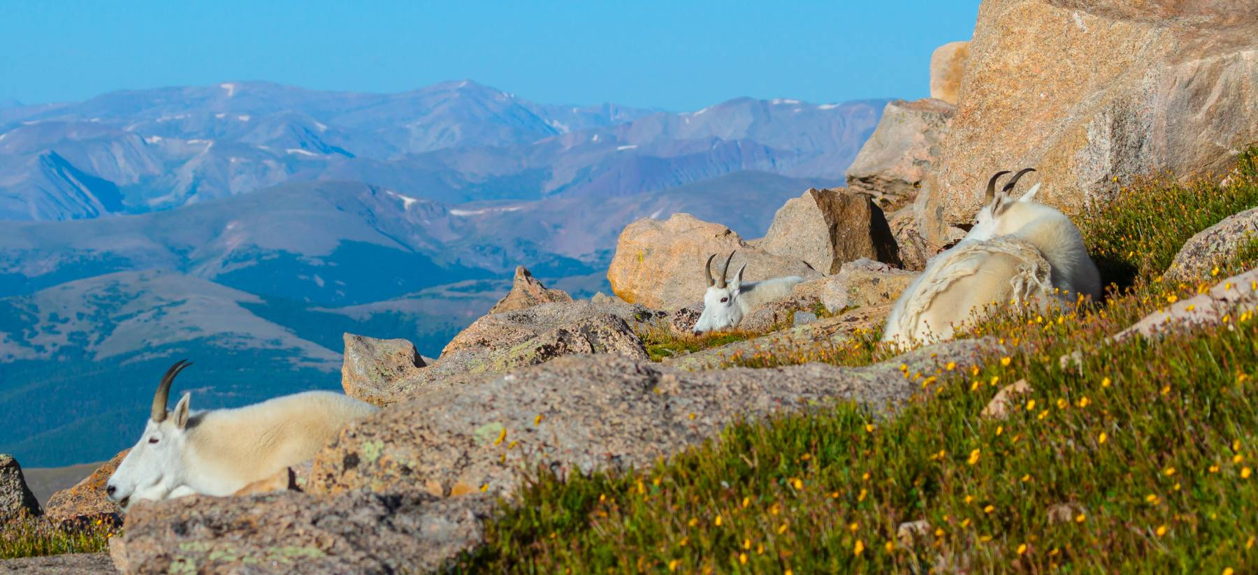 Colorado Mountain Goats