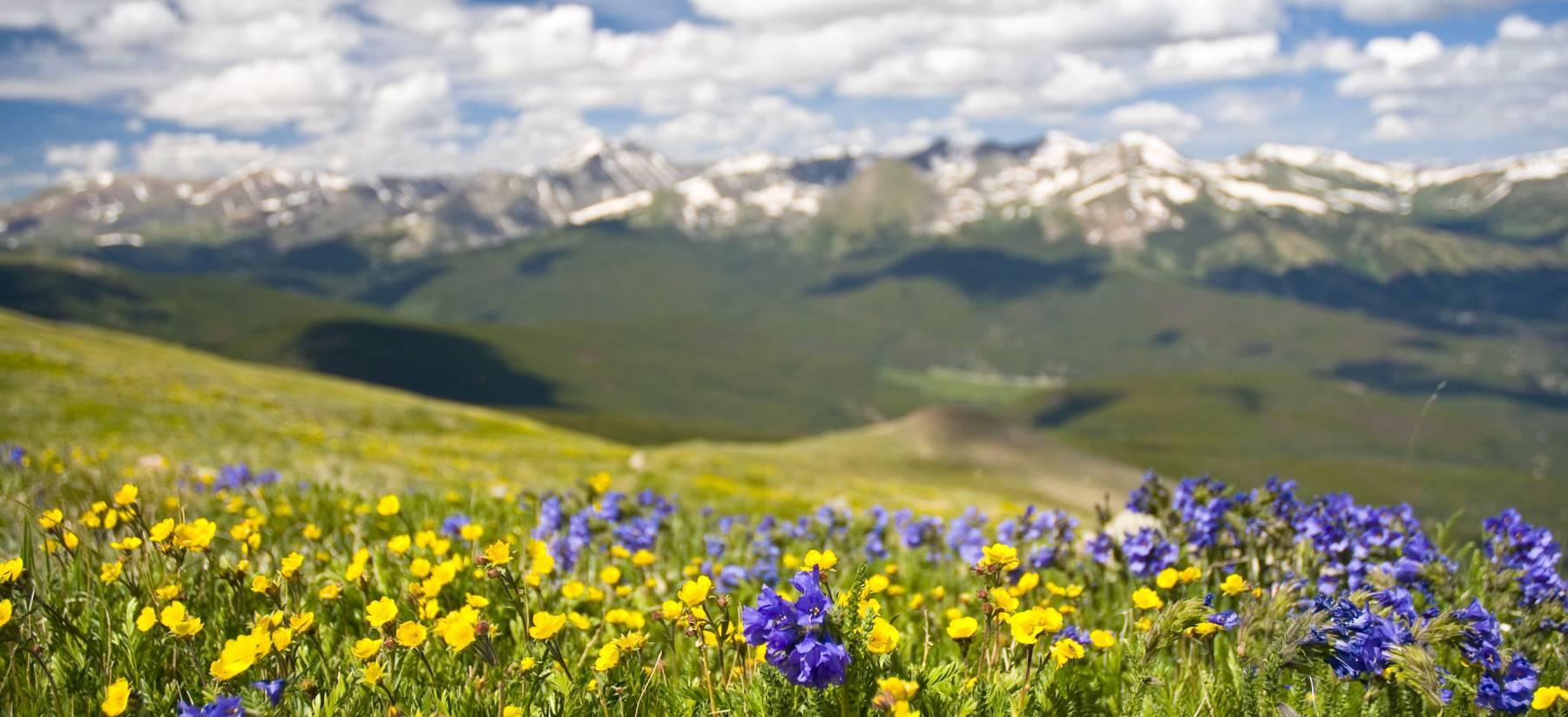Colorado Summer Wildflowers